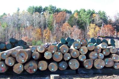 Hard Maple logs.jpg